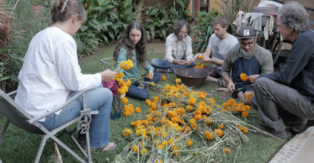 Our host family doing their annual tradition preparing Marigold flowers to decorate their alter to celebrate day of the dead. Families typically spend many days together preparing their alters and graveyard sites on November 1 for Day of the Dead - Dia de los Muertos